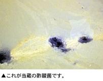 これが当蔵の酢酸菌です。