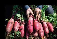 家庭菜園で在来種の野菜作り