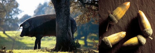 イベリコ豚は行動範囲をできるだけへ制限せず、通常飼料に加え、どんぐりを始め自然の樫類・草を自由に食べながら飼育されています。