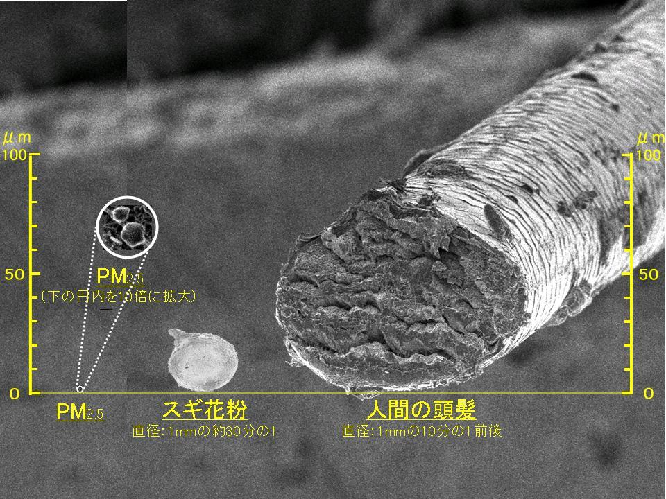 人間の頭髪、スギ花粉、PM2.5の大きさ比較写真(東京都HPより)