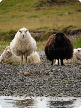 希少価値の高いアイスランド産羊