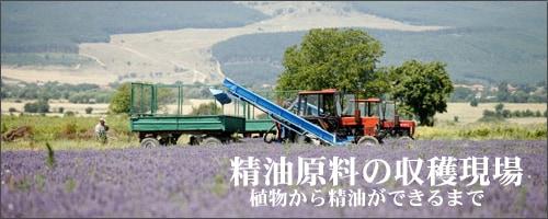 ラベンダー 収穫