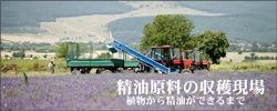 ラベンダーアロマオイル・原料収穫