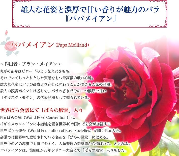 雄大な花姿と濃厚で甘い香りが魅力のバラ『パパメイアン』
