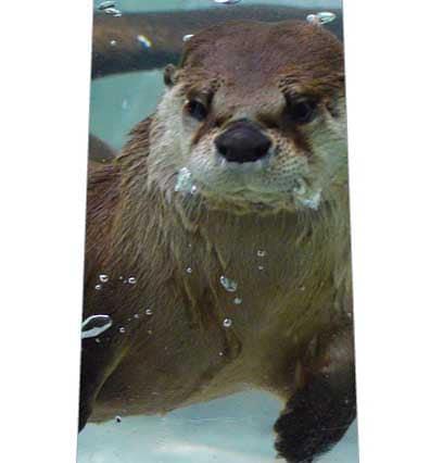 水中のカワウソネクタイの写真