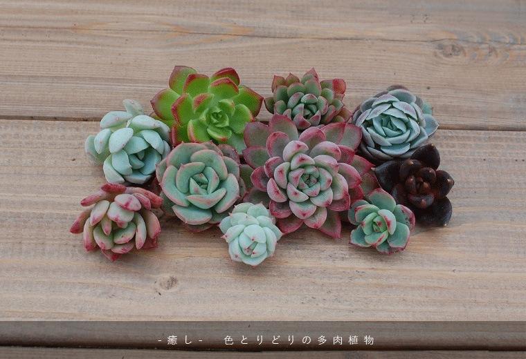 - 癒し - 色とりどりの多肉植物