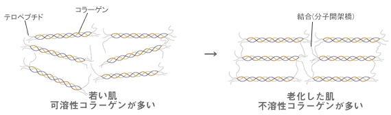 可溶性コラーゲン&不溶性コラーゲン