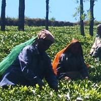 生産者紹介紅茶