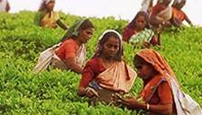フェアトレード品の生産者 フェアトレード紅茶