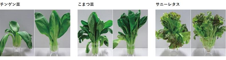 チンゲン菜・こまつ菜・サニーレタスの7日間保存比較