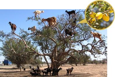 アルガンの樹イメージ