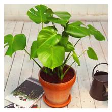 インテリアプランツ モンステラ 観葉植物 約60cm
