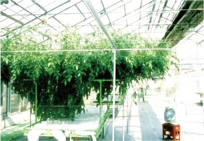 新林の滝 体験談トマト農園1