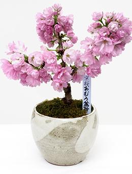 おむろ盆桜 母の日特別仕様