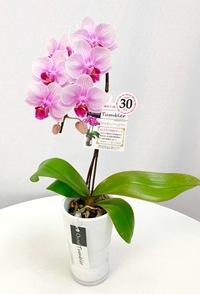 ミディ胡蝶蘭1本立 タンブラー 薄ピンク