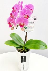 ミディ胡蝶蘭1本立 タンブラー 濃ピンク