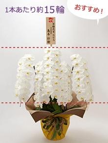はんなり胡蝶蘭 白大輪5本立 竹
