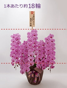 はんなり胡蝶蘭 ピンク大輪5本立 松