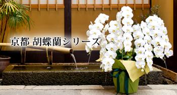 京都胡蝶蘭シリーズ 白大輪・アマビリス