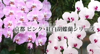 京都ピンク・紅白胡蝶蘭シリーズ
