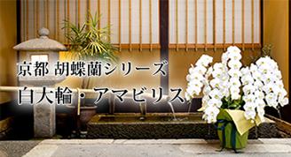 京都 胡蝶蘭シリーズ 白大輪・アマビリス