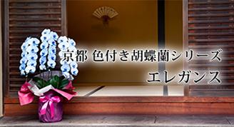 京都 色付き胡蝶蘭シリーズ エレガンス