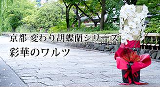 京都 変わり胡蝶蘭シリーズ 彩華のワルツ