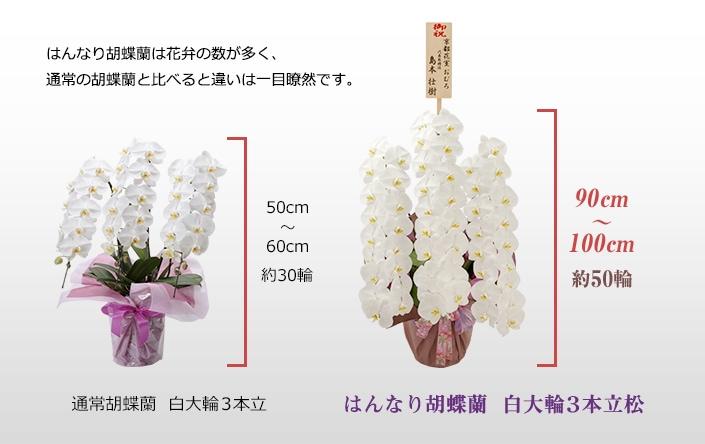 はんなり胡蝶蘭は花弁の数が多く、通常の胡蝶蘭と比べると違いは一目瞭然です。