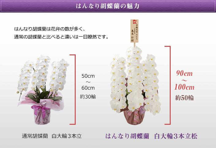はんなり胡蝶蘭の魅力 はんなり胡蝶蘭は花弁の数が多く、通常の胡蝶蘭と比べると違いは一目瞭然です。
