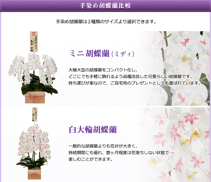 手染め胡蝶蘭は2種類のサイズより選択できます。ミニ胡蝶蘭(ミディ)・白大輪胡蝶蘭