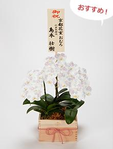 手染めミニ胡蝶蘭(ミディ)特選升3本立