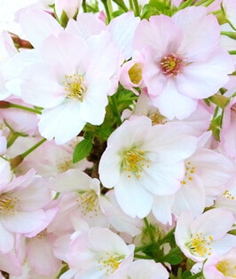 Gotenba Sakura