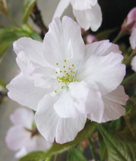 Naden Sakura
