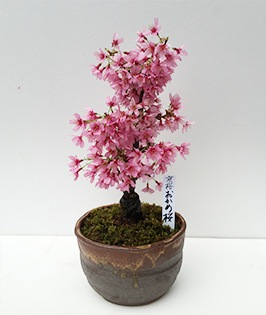 Okame Sakura