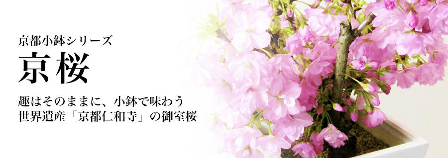京都小鉢シリーズ 京桜