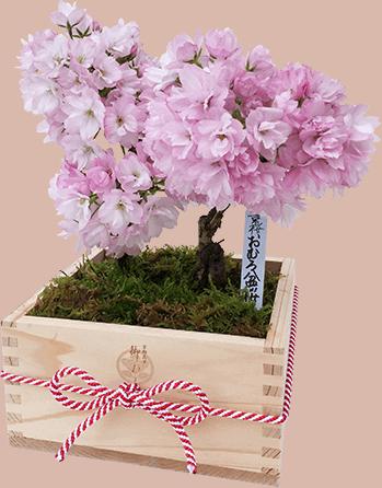おむろ盆桜2本立特選升(京都北山杉使用)