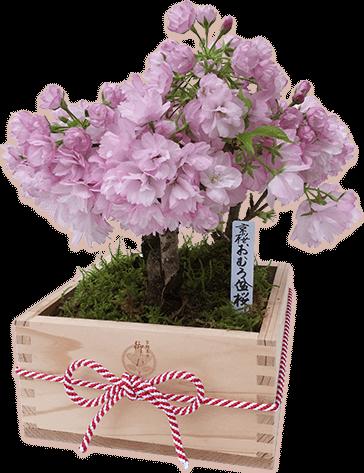 おむろ盆桜3本立特選升(京都北山杉使用)