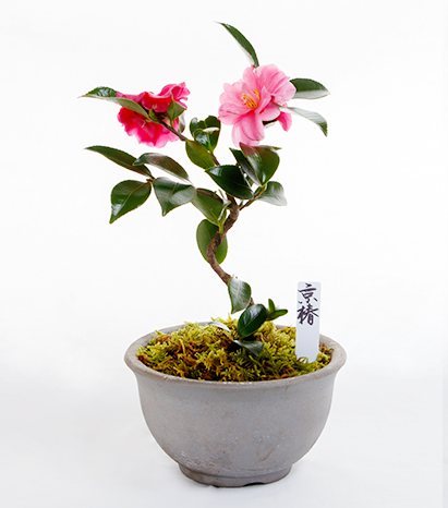 Kyoto Mini-BONSAI Series Kyoto Camellia