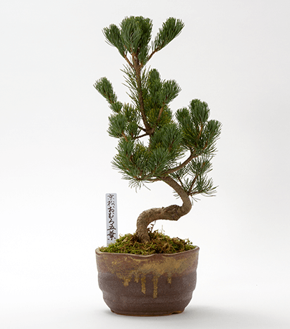 Kyoto Mini-BONSAI Series Kyoto Japanese Pine