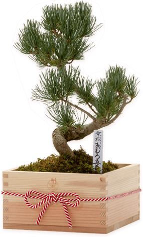 OMURO Bonsai(Pine) Special wooden box