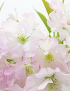 御車返し桜(みくるまがえしさくら)