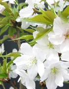 有明桜(ありあけさくら)