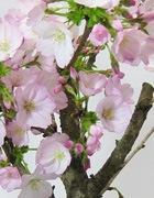 御殿場桜(ごてんばさくら)