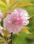 楊貴妃桜(ようきひさくら)