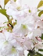 手弱女桜(たおやめさくら)