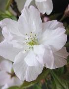 南殿桜(なでんざくら)