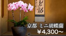京都 ミニ胡蝶蘭シリーズ