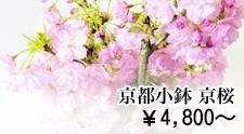 京都 小鉢シリーズ 京桜