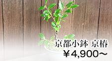京都 小鉢シリーズ 京椿
