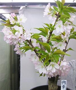 Mikurumagaeshi Sakura